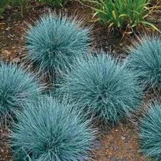 PERENNIAL GRASS FESTUCA FESCUE BLUE