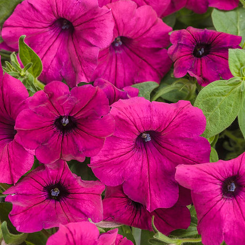 PETUNIA ROYAL MAGENTA HANGING BASKET