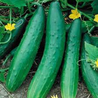 Burpless Cucumber Single Plant