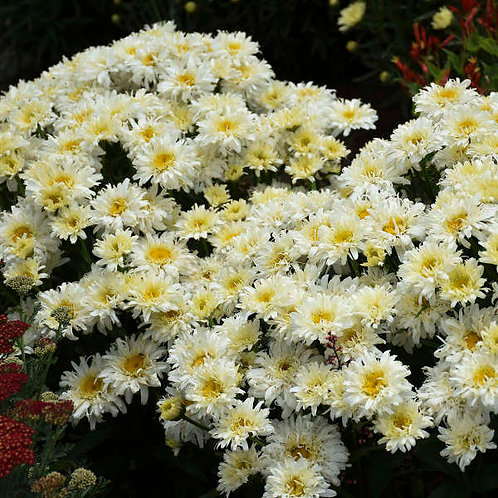 Leucanthemum Ice Cream Dream-shasta daisy GALLON POT