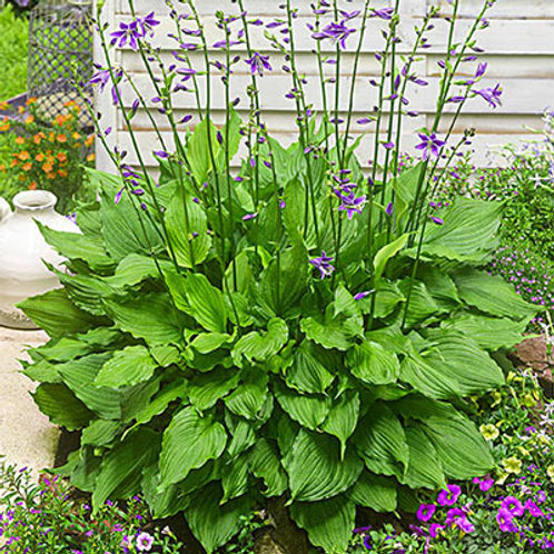 HOSTA PURPLE SENSATION 1GAL