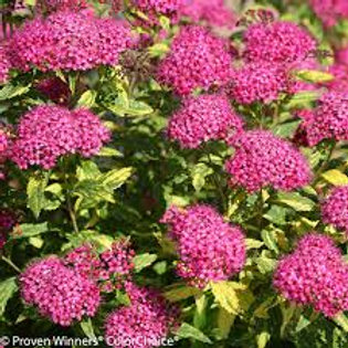 SPIREA DOUBLE PLAY PAINTED LADY 1G BUSH