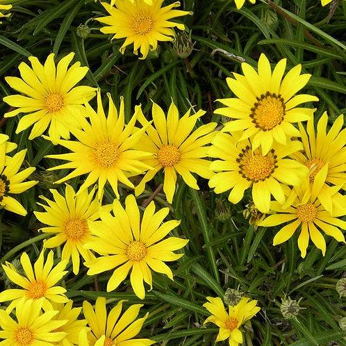 GAZANIA GOLD TREASURE FLOWER