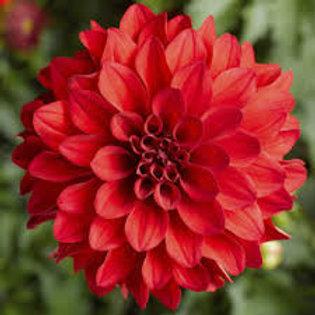 Grandahlia Dark Red 6.5inch pot
