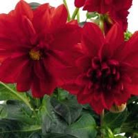 Dahlinova Carolina Red 6.5in pot
