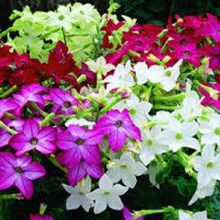 Nicotinia Saratoga Mix Flat 32 plants