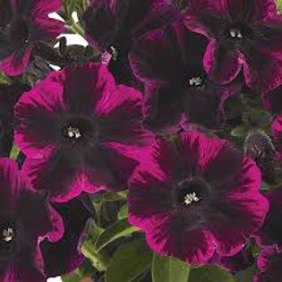 PETUNIA JOHNNY FLAME 4.5IN BENCH POT