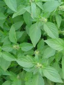 Herb SWEET DANI BASIL 4inch pot