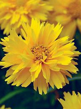 COREOPSIS DOUBLE THE SUN