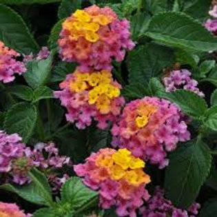 LANTANA BANDANA ROSE  4.5INCH BENCH POT