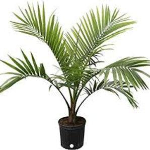 Majesty Palm 10in