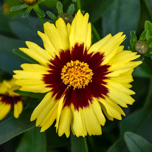 COREOPSIS UPTICK YELLOW & RED TICKSEED