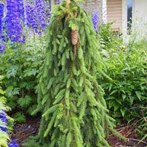 WEEPING NORWAY SPRUCE 3G