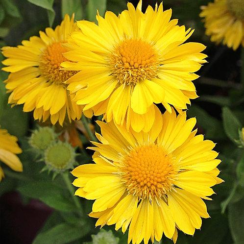 GAILLARDIA MESA YELLOW BLANKET FLOWER