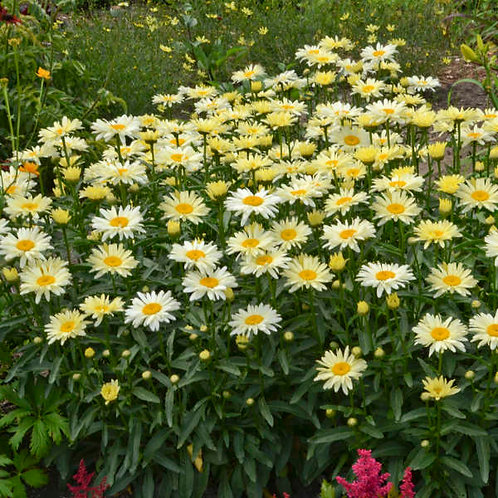 Leucanthemum Banana Cream-shasta daisy GALLON POT