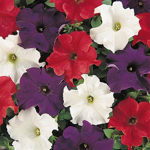 PETUNIA DREAMS PATRIOT MIX FLAT 32 PLANTS