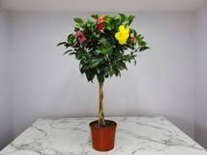 Hibiscus Braided Tree 8 in pot Mixed colors (no straight colors)
