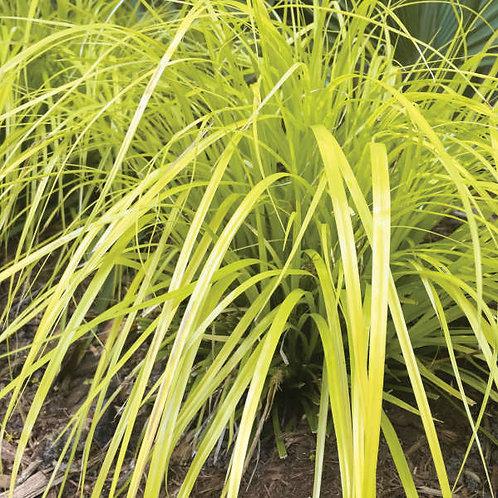 PERENNIAL GRASS CAREX EVERILLO -SEDGE GALLON POT
