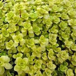 FAIRY GARDEN MINI SEDUM JAPANESE GOLDEN