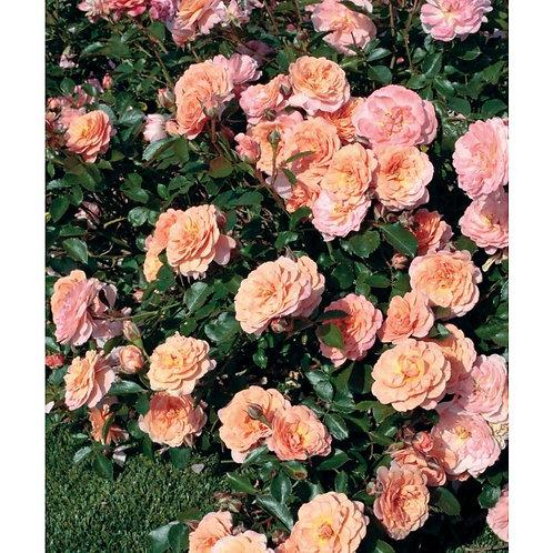 Apricot Drift Rose-Groundcover Rose