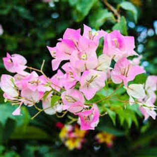 BOUGAINVILLA IMPERIAL THAI DELIGHT HANGING BASKET