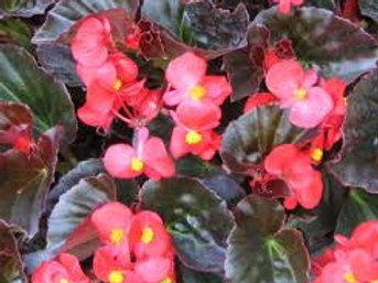 Begonia Eureka Bronze Leaf Scarlet Flat 32 plants