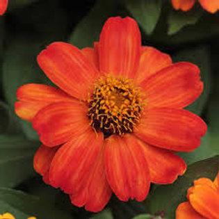 Zinnia Zahara Bright Orange  Flat 32 plants