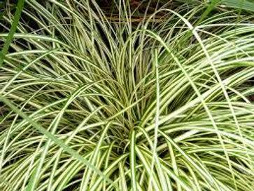 PERENNIAL GRASS CAREX EVERGOLD
