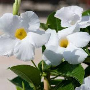 Mandevilla White 1 gal