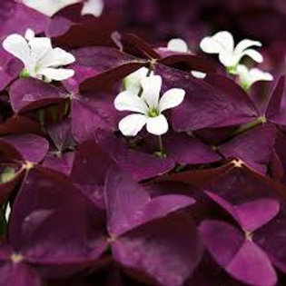 OXALIS CHARMED WINE 4.5IN BENCH POT