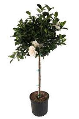 Gardenia Tree 10in pot
