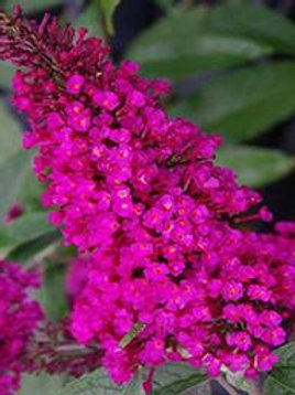 BUDDLEIA BUZZ HOT RASPBERRY BUTTERFLY BUSH