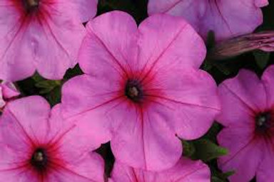 Petunia Easy Wave Pink Passion 6 pack