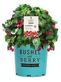 Raspberry Bush Raspberry Shortcake 2g