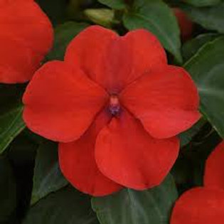 Impatiens Beacon Red Flat 32 plants