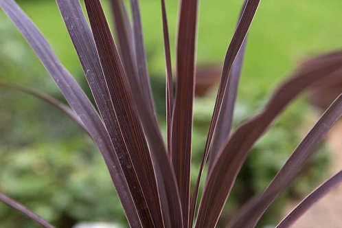 CORDYLINE RED 6.5INCH POT