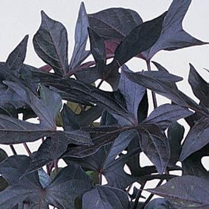 IPOMEA SWEET POTATO  BLACKIE 4.5INCH BENCH POT