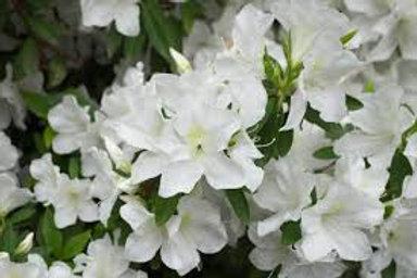 AZALEA PLEASANT WHITE 1G BUSH