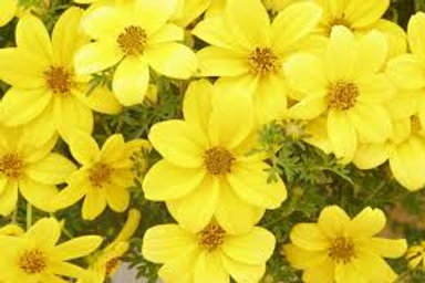 BIDENS MEXICAN GOLD 4.5IN BENCH POT