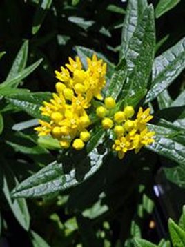 ASCLEPIAS HELLO YELLOW SWAMP MILKWEED/BUTTERFLY WEED