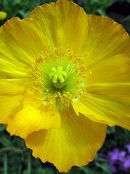 PAPAVER CHAMPAGNE BUBLES YELLOW