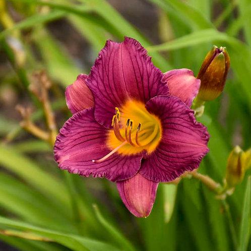 Hemerocallis Purple de Oro-daylily