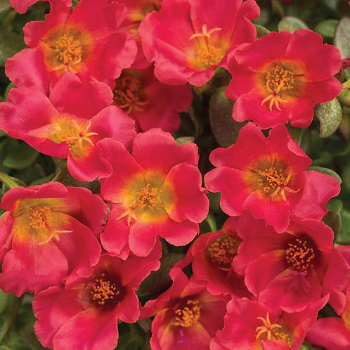 PORTULACA MOJAVE RED HANGING BASKET