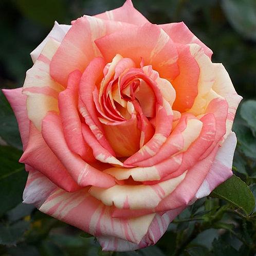 PEACH SWIRL ROSE