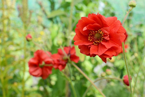GEUM DOUBLE BLOODY MARY AVENS