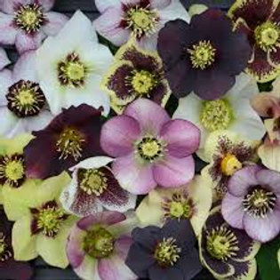 HELLEBORUS HONEYMOON SERIES