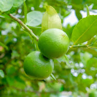 Key Lime Tree 18-24in