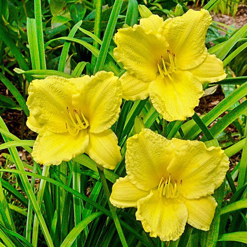 HEMEROCALLIS BIG TIME HAPPY  DAYLILY GALLON POT