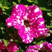 PETUNIA HEADLINER PINK SKY 4.5INCH BENCH POT