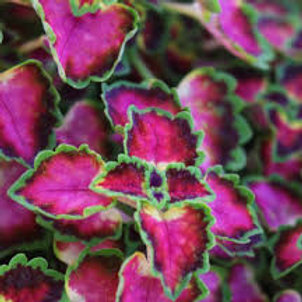 COLEUS TRAILING G F ANGEL 4.5IN BENCH POT
